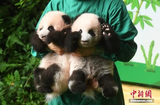 重庆:大熊猫双胞胎幼仔与游客见面